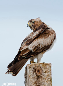 Wildlife bird images. Booted Eagle series.