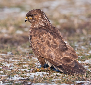 Buzzard. Hungary series.