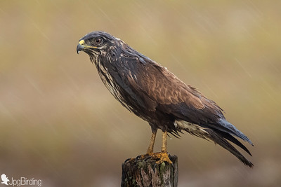 Buzzard under the rain