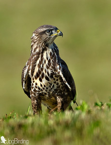 Wildlife bird images.Buzzard series. Standing on the floor.
