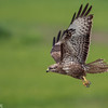 Buzzard in Doñana