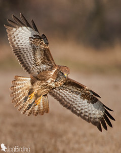 Buzzard. Hungary series. In flight.