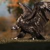 Scavenger Birds. Black vulture