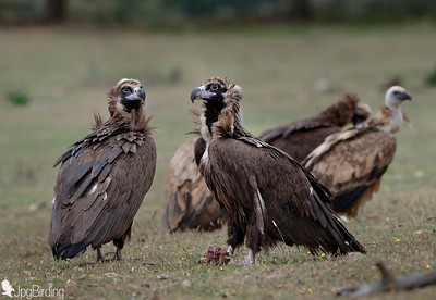 Scavenger Birds. Group of black vulture standing. Wildlife image taken in Extremadura (Spain).