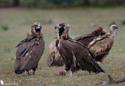 Scavenger Birds. Group of black vulture standing. Wildlife image taken in Extremadura (Spain).