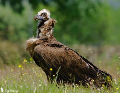 Scavenger Birds. Black vulture standing. Wildlife image taken in Extremadura (Spain).