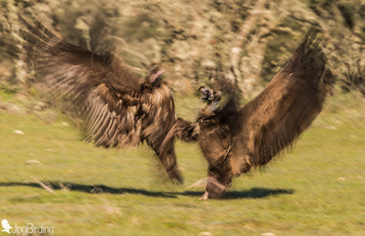 Scavenger Birds. Black vulture fighting