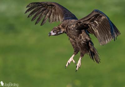 Scavenger Birds. Black vulture in flight