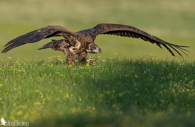 Scavenger Birds. Black vulture standing