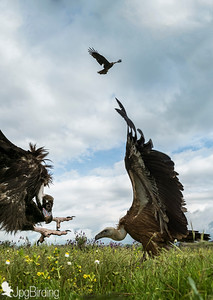 Scavenger Birds. Black vulture .