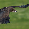 Scavenger Birds. Black vulture in flight