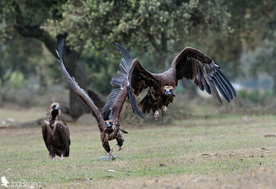 Scavenger Birds. Black vulture in flight. Wildlife image taken in Extremadura (Spain).