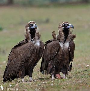 Scavenger Birds. Couple of black vulture standing. Wildlife image taken in Extremadura (Spain).