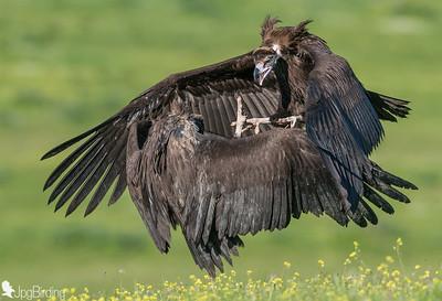 Scavenger Birds. Black vulture fighting