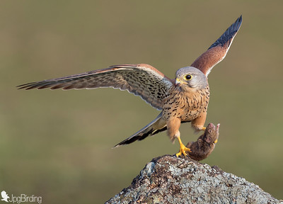 Common Kestrel (male)