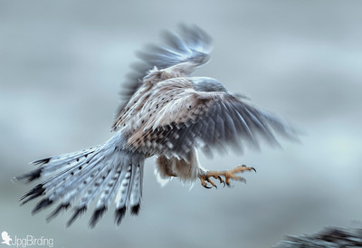 Common Kestrel - Mystic