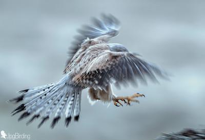 Common Kestrel - Mystic