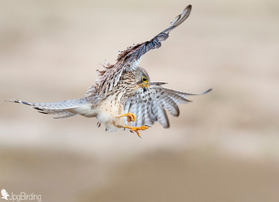 Common Kestrel in flight