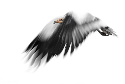 Egyptian Vulture..... Low speed !!!