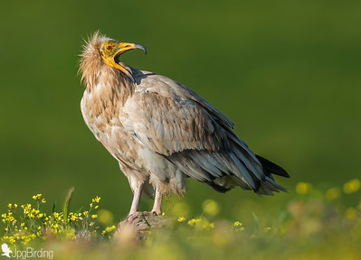 Egyptian Vulture standing on the rock.