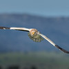 Egyptian vulture in flight