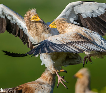 Egyptian vultures.... fighting!!!