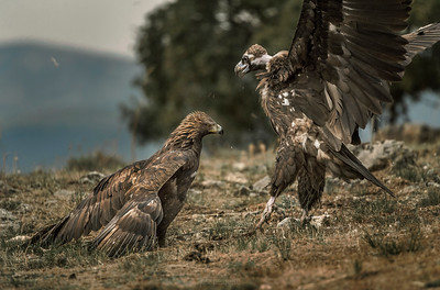 The Golden Eagle (Aquila chrysaetos). Fighting