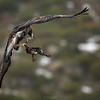 The Golden Eagle (Aquila chrysaetos). Flights