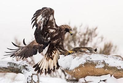 The Golden Eagle (Aquila chrysaetos)