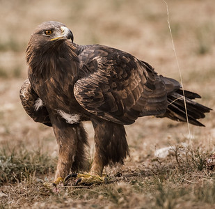 The Golden Eagle (Aquila chrysaetos)