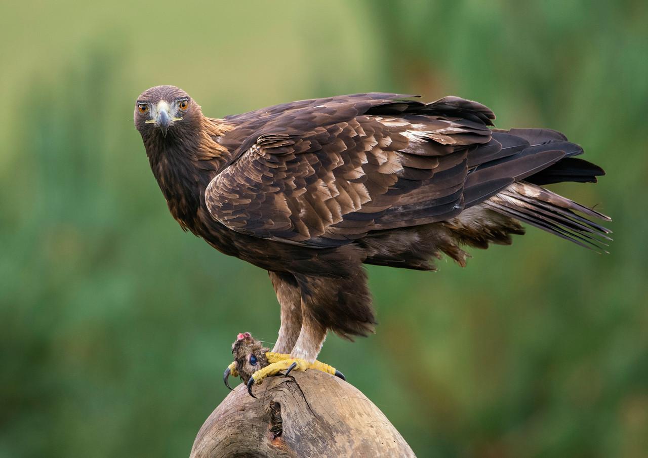 The Golden Eagle (Aquila chrysaetos). Standing.
