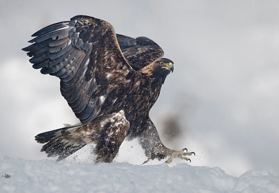 The Golden Eagle (Aquila chrysaetos). Walking on the snow.
