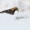 The Golden Eagle (Aquila chrysaetos). Standing on the snow.