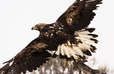 The Golden Eagle (Aquila chrysaetos) in flight