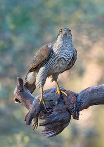 Wildlife bird images. Goshawk series. Standing on a branch with prey.