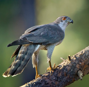 Wildlife bird images. Goshawk series. Standing on a branch.