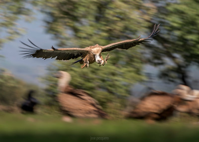 Griffon vulture in flight.