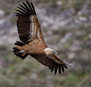 Scavenger Birds. Griffon vulture in flight. Image taken in Segovia (Spain)