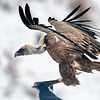 Scavenger Birds. Griffon vulture. Landing on the snow.