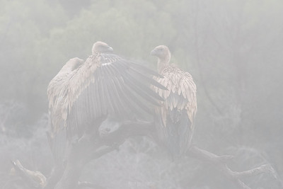 Griffon vulture ... under the fog