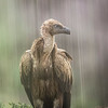 Griffon vulture ... under the rain
