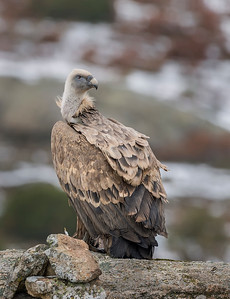 Scavenger Birds. Griffon vulture. Standing on the rock
