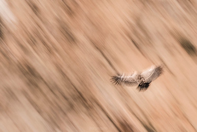 Griffon vulture in flight