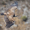 Scavenger Birds. Griffon vulture in flight. Image taken in Segovia (Spain)