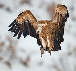 Scavenger Birds. Griffon vulture. Landing on the snow.