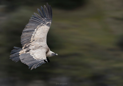 Griffon vulture in flight. Duraton