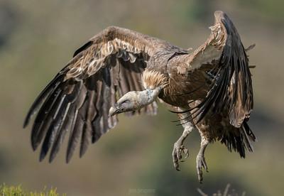 Scavenger Birds. Griffon vulture.