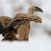 Scavenger Birds. Griffon vulture. Standing on the snow.