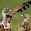 Griffon vulture fighting