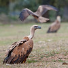 Scavenger Birds. Griffon vulture. Group of vultures. Image taken in Extremadura (Spain)